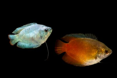 Photo: A red and blue phase powder blue gourami (Colisa lalia) at the Fish Biodiversity Lab, Auburn University, Auburn, Alabama.