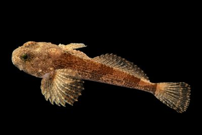 Photo: A banded sculpin (Cottus carolinae) at the Fish Biodiversity Lab at Auburn University.