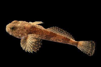 Photo: A banded sculpin (Cottus carolinae) at the Fish Biodiversity Lab at Auburn University.