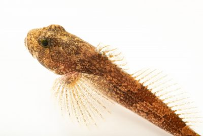 Photo: Banded sculpin (Cottus carolinae) at the Fish Biodiversity Lab at Auburn University.