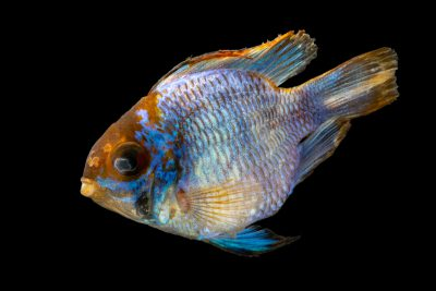 Photo: A blue ram cichlid (Mikrogeophagus ramirezi) at the Fish Biodiversity Lab at Auburn University.