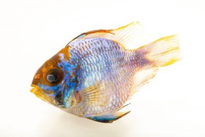 Photo: A blue ram cichlid (Mikrogeophagus ramirezi) at the Fish Biodiversity Lab at Auburn University.