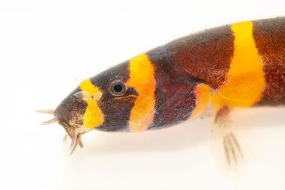 Photo: Kuhli loach (Pangio kuhlii) at Shrimp Fever, from a private collection.