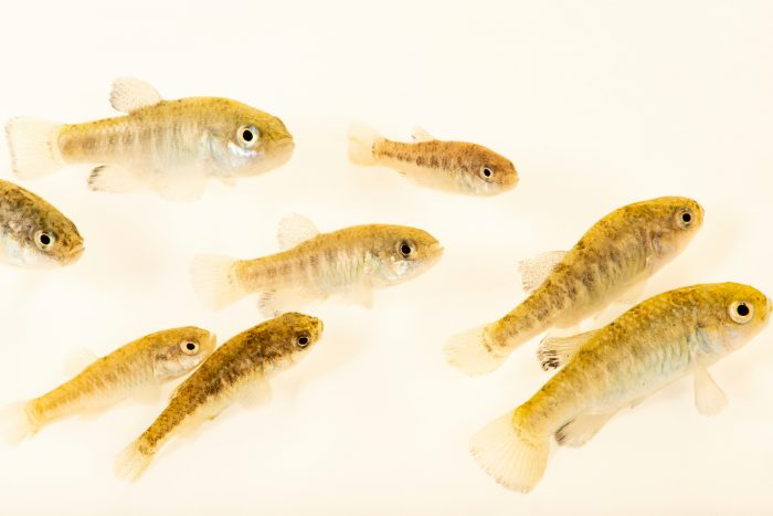 Photo: Warm Springs pupfish (Cyprinodon nevadensis pectoralis) at Ash Meadows National Wildlife Refuge near Pahrump, NV. This species is listed as vulnerable on IUCN's red list.
