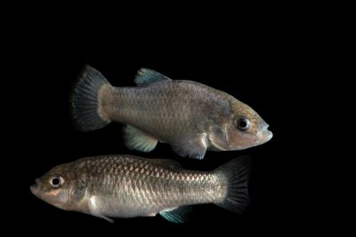 Photo: Critically endangered Devils Hole pupfish (Cyprinodon diabolis) at Ash Meadows National Wildlife Refuge.