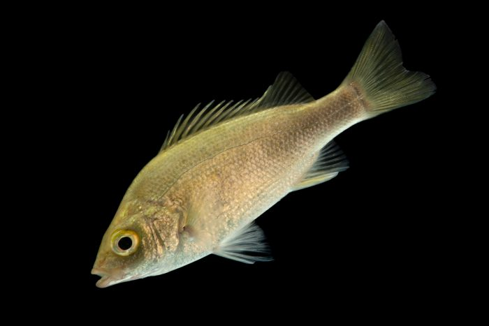 Photo: A silver perch (Leiopotherapon plumbeus) at the University of the Philippines.