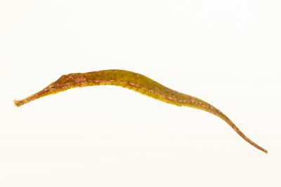 Photo: An alligator pipefish (Syngnatoides biaculeatus) at Semirara Marine Hatchery Laboratory in the Philippines.