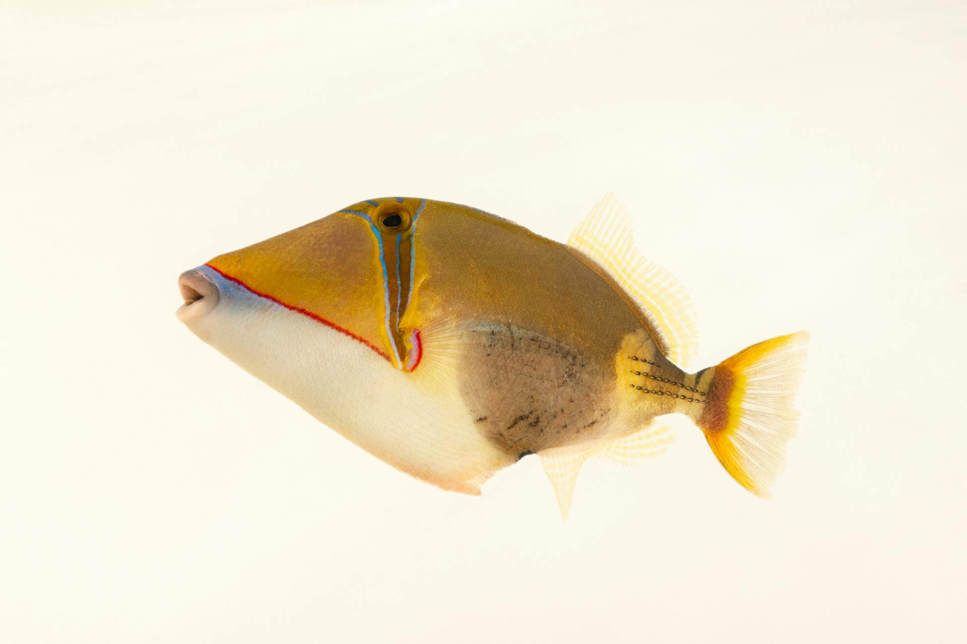 Photo: A blackbelly triggerfish (Rhinecanthus verrucosus) at Semirara Marine Hatchery Laboratory in the Philippines.