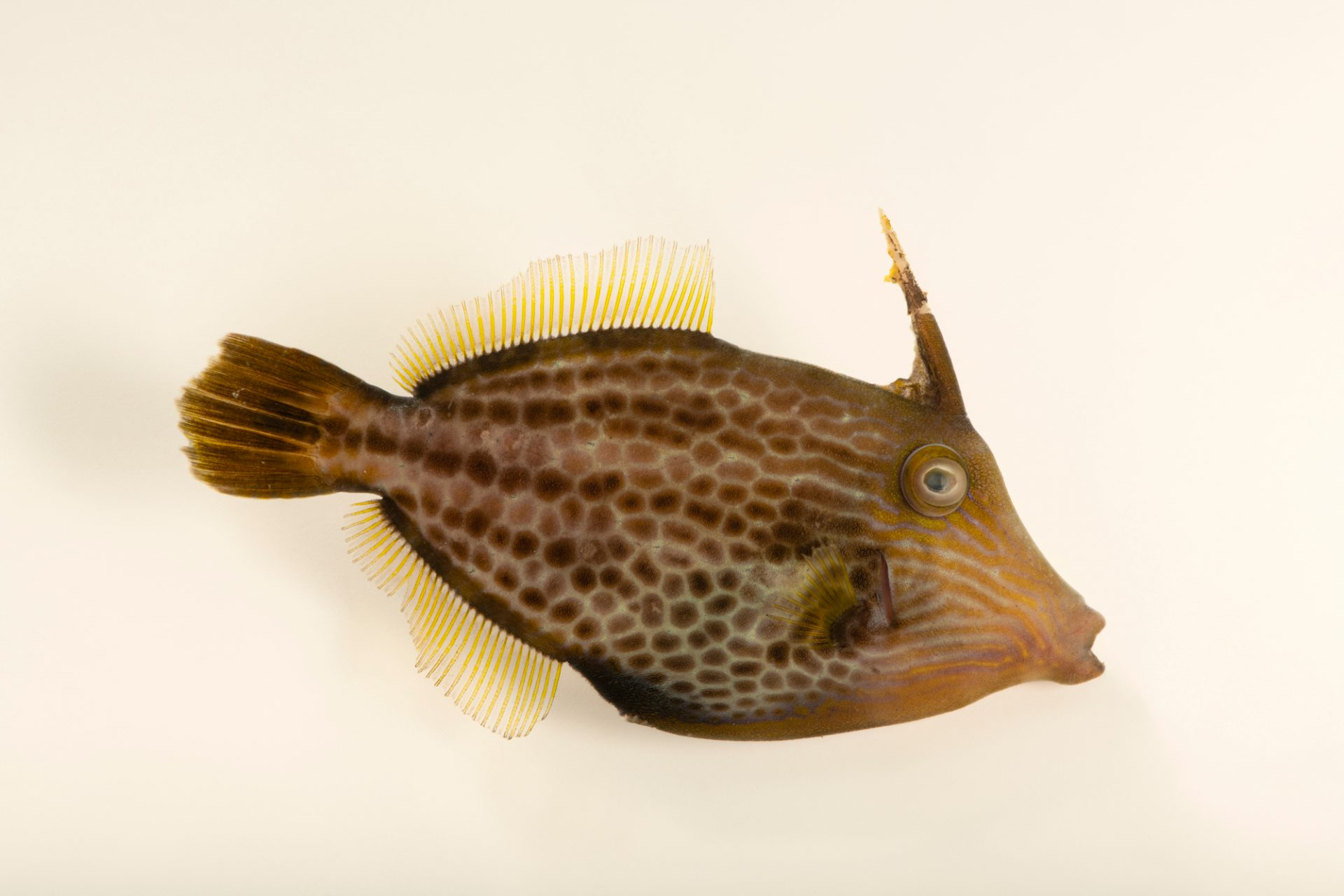 Photo: A honeycomb filefish (Cantherhines pardalis) at Semirara Marine Hatchery Laboratory in the Philippines.