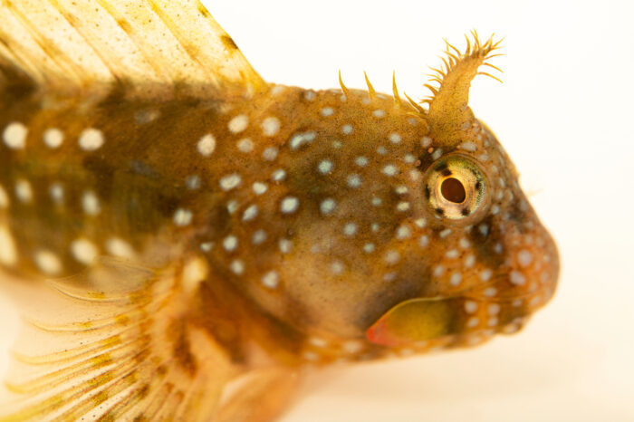 Photo: A Montagu's blenny (Coryphoblennius galerita) at the Littoral Station of Aguda, Portugal.