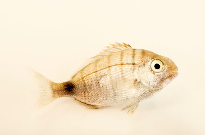 Photo: A white seabream (Diplodus sargus) at the Littoral Station of Aguda, Portugal.