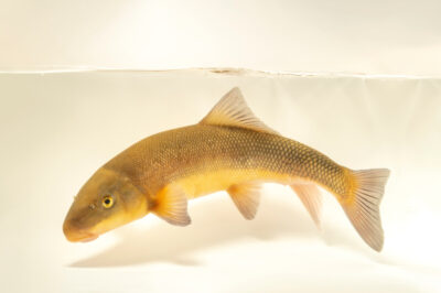 Photo: A largescale sucker (Catostomus macrocheilus) from Mores Creek, Idaho.