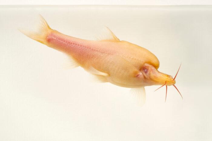 Photo: A Chinese blind cave fish (Sinocyclocheilus furcordorsalis) at Aquarium Berlin.