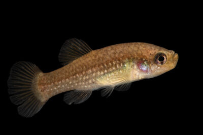 Photo: A female, pearl-spotted killifish (Aphanius mento) at Aquarium Berlin.