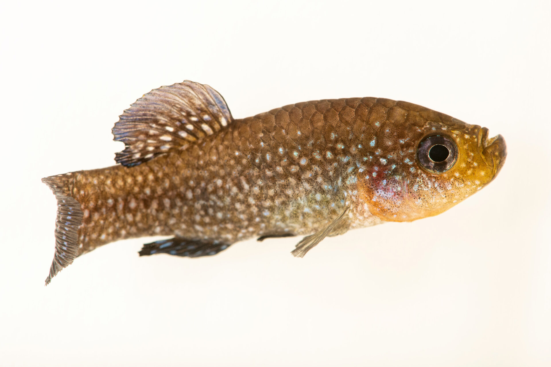 Photo: A pearl-spotted killifish (Aphanius mento) at Aquarium Berlin.