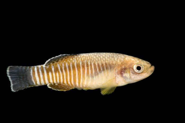 Photo: A Farsi tooth-carp (Aphanius farsicus) at Aquarium Berlin.