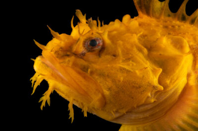 Photo: A sea raven (Hemitripterus americanus) yellow color phase, at the Maine State Aquarium in West Boothbay, ME. These animals are most often greenish in color.