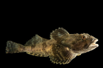Photo: A longhorn sculpin (Myoxocephalus octodecemspinosus) at the Maine State Aquarium in West Boothbay, ME.