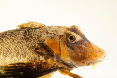 Photo: A northern sea robin (Prionotus carolinus) at the Maine State Aquarium in West Boothbay, ME.