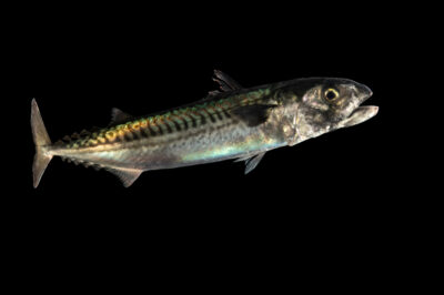 Photo: An Atlantic mackerel (Scomber scombrus) at the Maine State Aquarium in West Boothbay, ME.