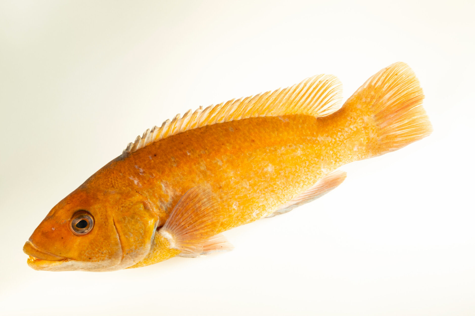 Photo: A cunner (Tautogolabrus adspersus) at the Maine State Aquarium in West Boothbay, ME.