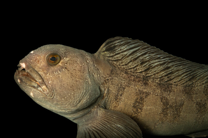 Photo: An American wolffish (Anarhichas lupus) at the Maine State Aquarium in West Boothbay, ME.