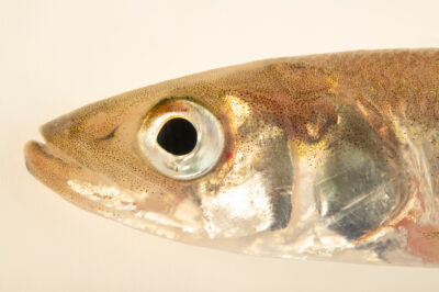 Photo: A rainbow smelt (Osmerus mordax) at the Maine State Aquarium in West Boothbay, ME.