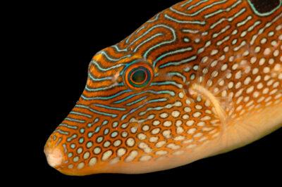 Photo: A pufferfish (Canthigaster bennetti) at Petra Aqua.
