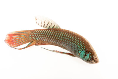 Photo: A male peaceful betta (Betta imbellis) from a private collection in St. Augustine, Florida.