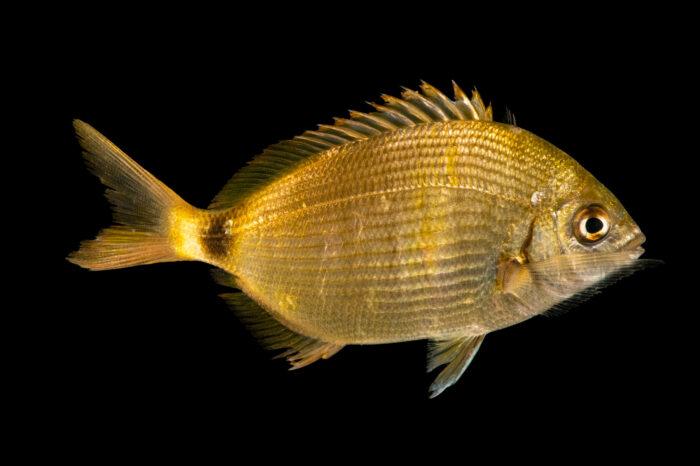 Photo: A spottail pinfish (Diplodus holbrookii) at Gulf Specimen Aquarium in Panacea, FL.