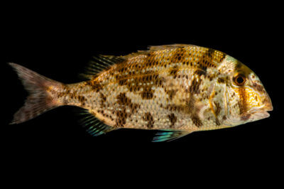 Photo: A grass porgy (Calamus arctifrons) at Gulf Specimen Aquarium in Panacea, FL.