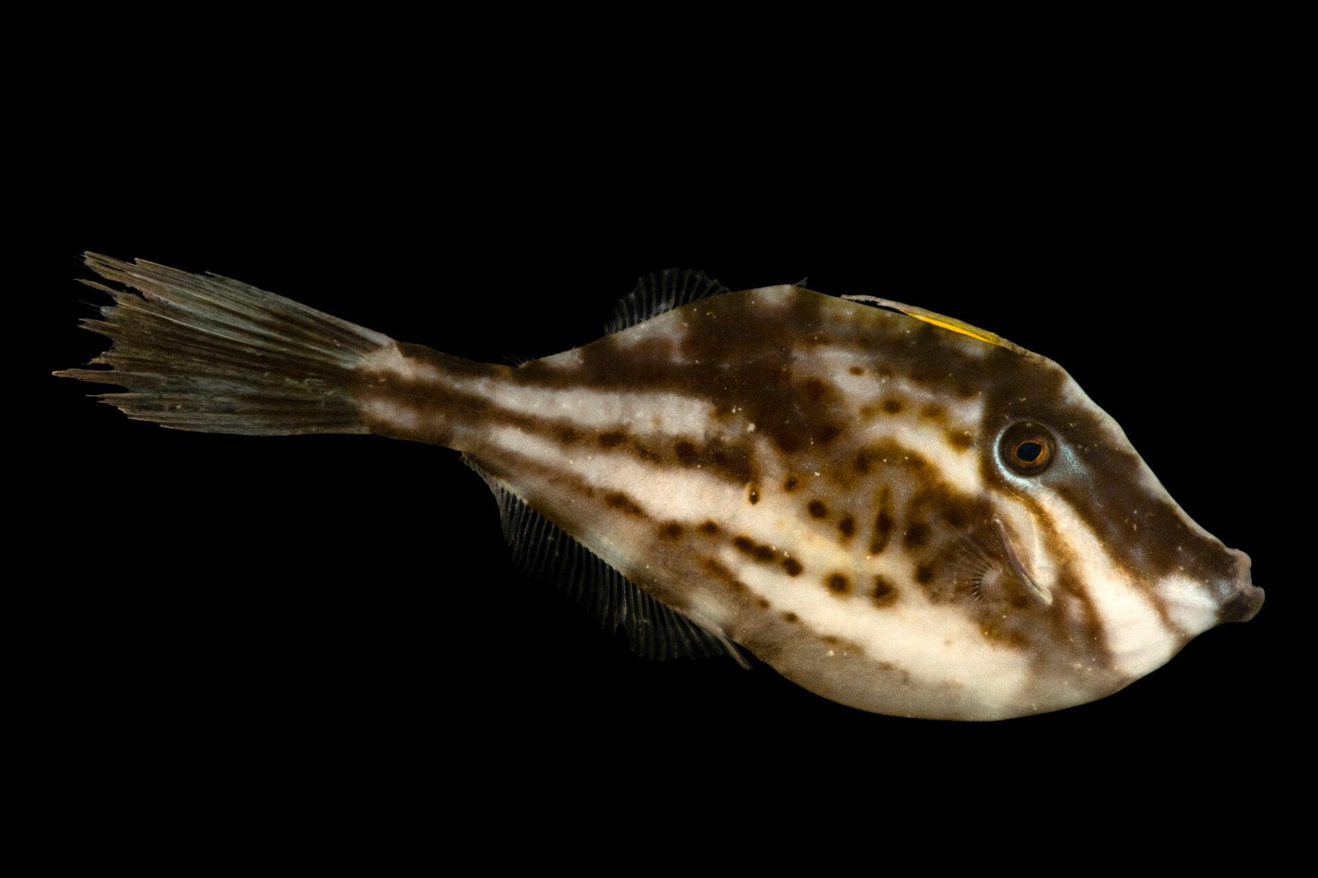 Photo: A scrawled filefish (Aluterus scriptus) at Gulf Specimen Aquarium in Panacea, FL.