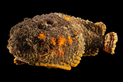 Photo: A stonefish (Synanceia verrucosa) at the Oklahoma Aquarium.