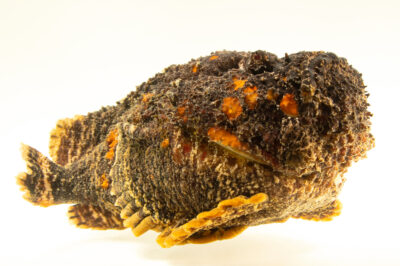 Photo: A stonefish (Synanceia verrucosa) at the Oklahoma Aquarium.