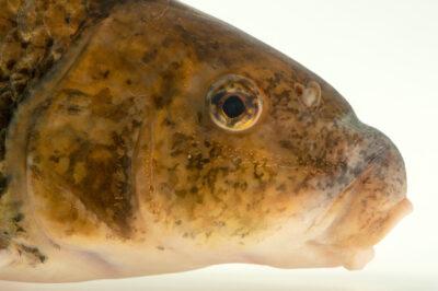Photo: A spotted sucker (Minytrema melanops) at the Oklahoma Aquarium.