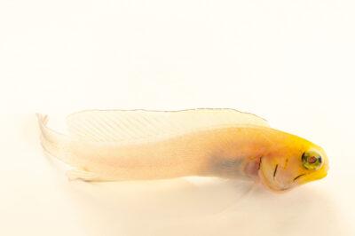 Photo: A yellowhead jawfish (Opistognathus aurifrons) at the Audubon Aquarium of the Americas.