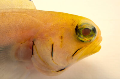 Photo: A yellowhead jawfish (Opistognathus aurifrons) at the Audubon Aquarium of the Americas.