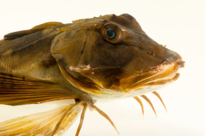 Photo: A bandtail searobin (Prionotus ophryas) at the Audubon Aquarium of the Americas.