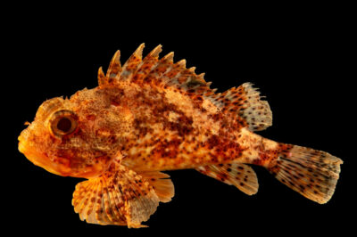 Photo: Small red scorpionfish, Scorpaena notata, at the Vasco da Gama Aquarium.