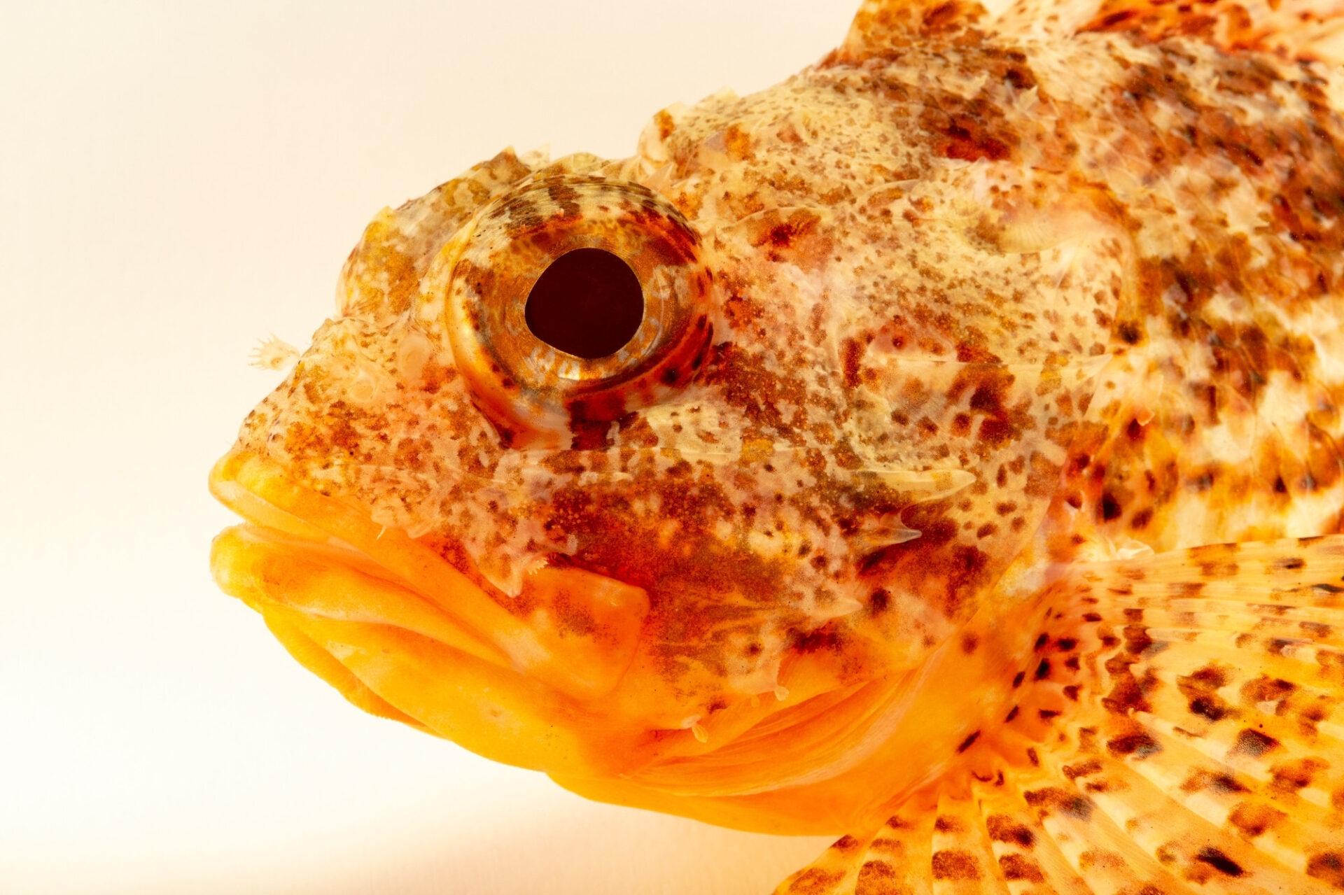 Photo: Small red scorpionfish, Scorpaena notata, at the Vasco da Gama Aquarium.
