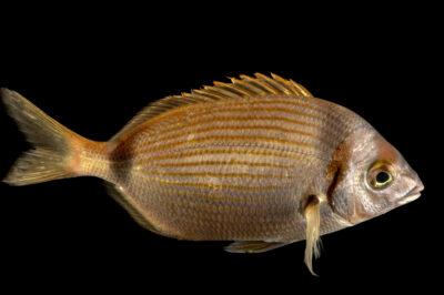 Photo: Common two-banded sea bream, Diplodus vulgaris, saltwater fish at the Vasco da Gama Aquarium.