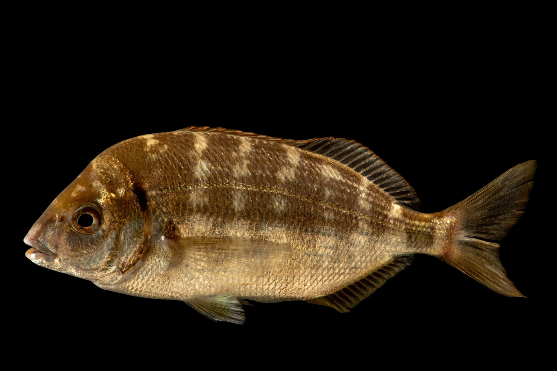 Photo: Senegal seabream, Diplodus bellottii, a saltwater fish at the Vasco da Gama Aquarium.