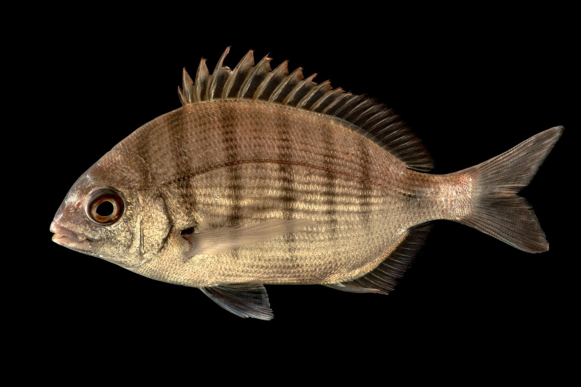 Photo: Sargo or white seabream, Diplodus sargus, at the Vasco da Gama Aquarium.
