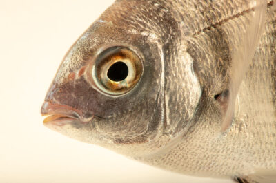 Photo: Sargo or white seabream, Diplodus sargus, at the Vasco da Gama Aquarium.