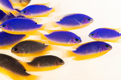 Photo: Several Fiji devil damselfish (Chrysiptera taupou) at Shark Reef Aquarium at Mandalay Bay, Las Vegas, NV.