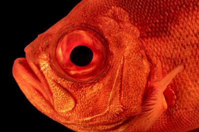 Photo: A popeye catalufa (Pristigenys serrula) at the Downtown Aquarium in Denver, Colorado.