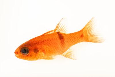 Photo: A barspot cardinalfish (Apogon retrosella) at the Downtown Aquarium in Denver, Colorado.