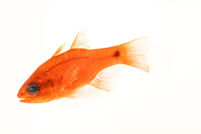 Photo: A tailspot cardinalfish (Apogon dovii) at the Downtown Aquarium in Denver, Colorado.
