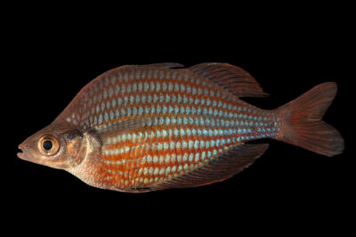 Photo: A Dority's rainbowfish (Glossolepis dorityi) at the Downtown Aquarium in Denver, Colorado.