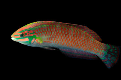 Photo: An ornate wrasse (Halichoeres ornatissimus) at SeaWorld San Diego.
